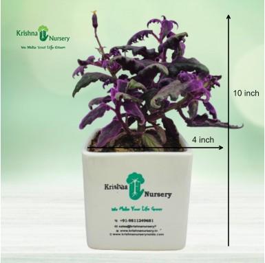 Gynura Plant - 4 inch - White Pot