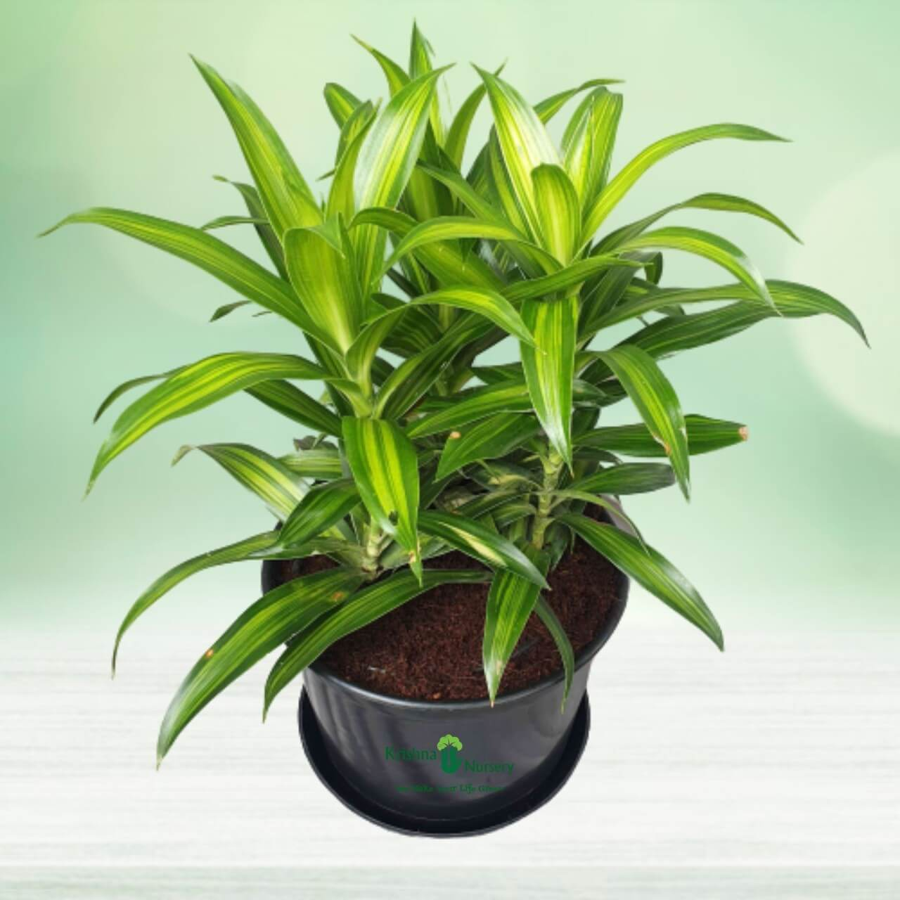 Green Song of India Plant - 8 Inch - Black Pot