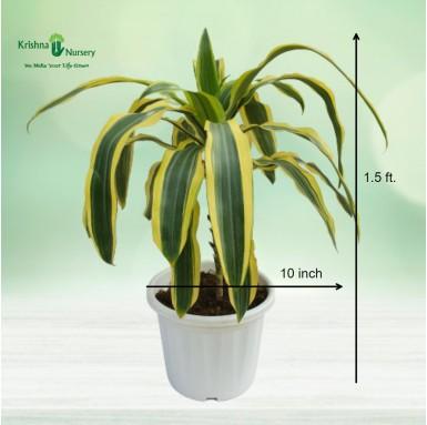 Victoria Plant - 10 Inch - White Pot