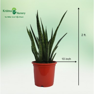 Sansevieria Cylindrica - 10 Inch - Red Pot