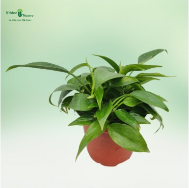Philodendron Oxycardium Plant - 4 inch - Red Pot