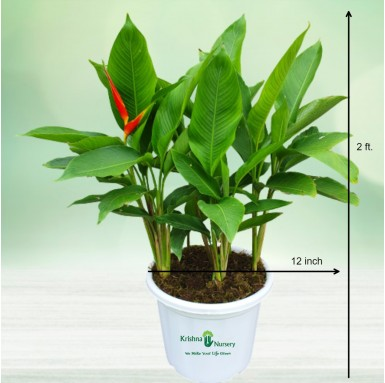 Heliconia Plant - 12 Inch - White Pot