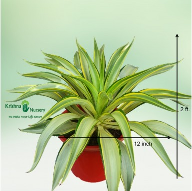 Golden Agave Plant - 10 Inch - Red Pot