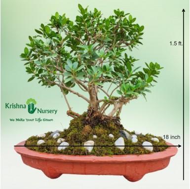 Ficus Long Island Bonsai - 18 inch - Red Pot