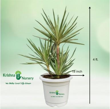 Silver Yucca Bonsai Plant - 18 Inch - White Pot