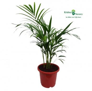 Dwarf Areca Palm - 12 inch - Red Pot