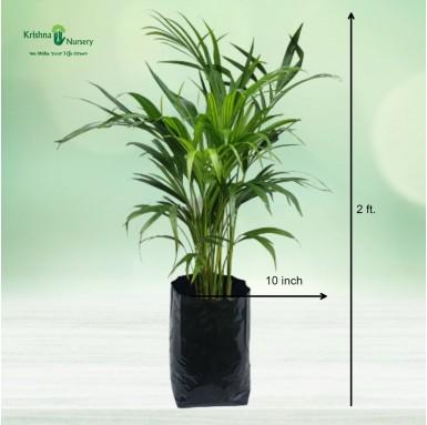 Dwarf Areca Palm - 10 inch - Poly Bag
