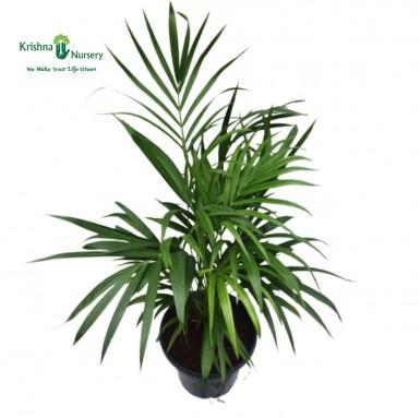 Dwarf Areca Palm - 12 inch - Black Pot