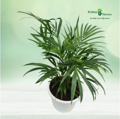 Dwarf Areca Palm - 12 inch - White Pot