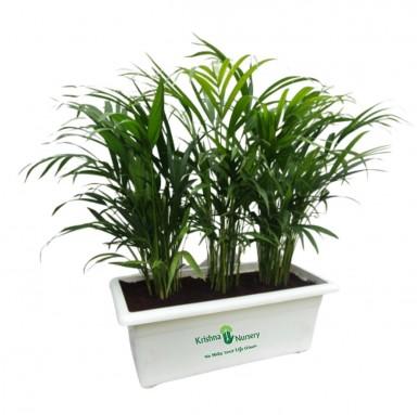 Dwarf Areca Palm - 24 inch - White Pot
