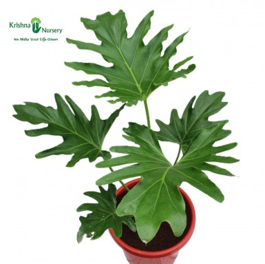 Philodendron Selloum Plant - 10 inch - Red Pot