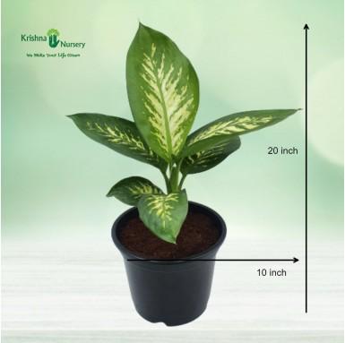 Diffen-Bachia Plant - 10 inch - Black Pot
