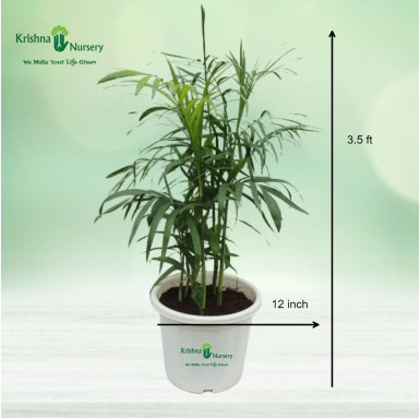 Cane Palm - 12 inch - White Pot