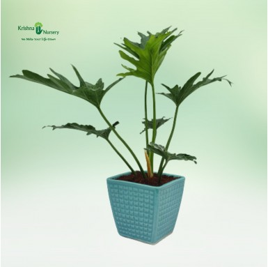 Selloum Plant with 6 Inch...