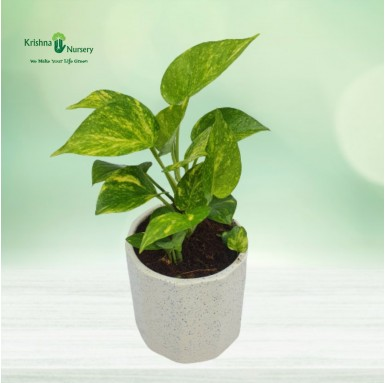 Money Plant with 5 inch...