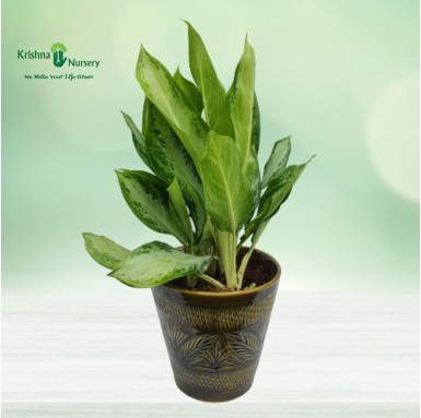 Aglaonema Green with 10...