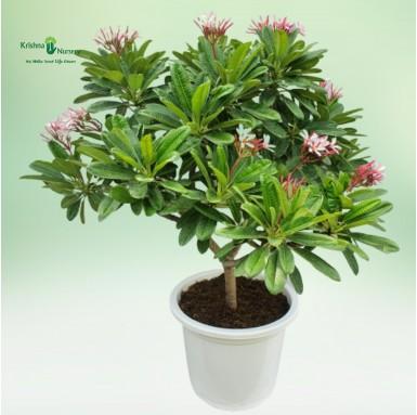 Pixie Plumeria Plant - 18 inch - White Pot