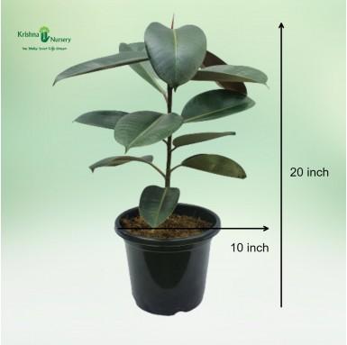 Rubber Plant - 10 inch - Black Pot