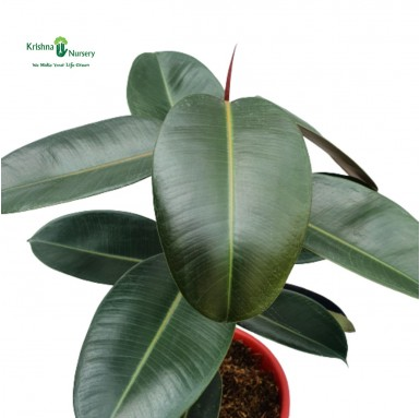 Rubber Plant - 10 inch - Red Pot