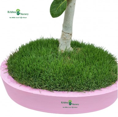 Banyan Bonsai - 16 inch - Pink Pot