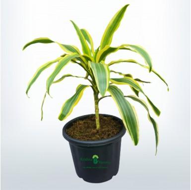 Victoria Plant - 8 Inch - Black Pot