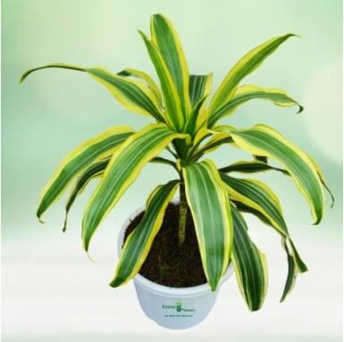 Victoria Plant - 8 Inch - White Pot