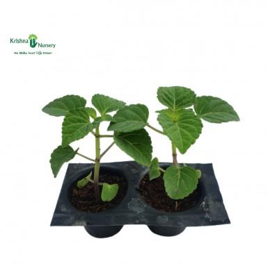Salvia Seedling