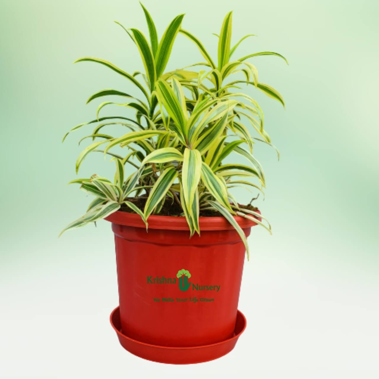 Song of India Golden - 10 Inch - Red Pot