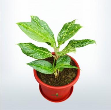 Aglaonema Snow White - 10 Inch - Red Pot