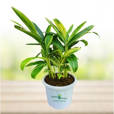Alpinia Plant - 12 Inch - White Pot
