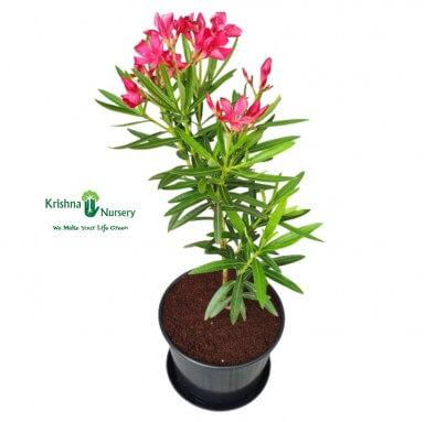 Kaner Dwarf Plant - 6 Inch - Black Pot