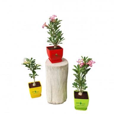 Adenium Plant - 6 Inch - Red Pot