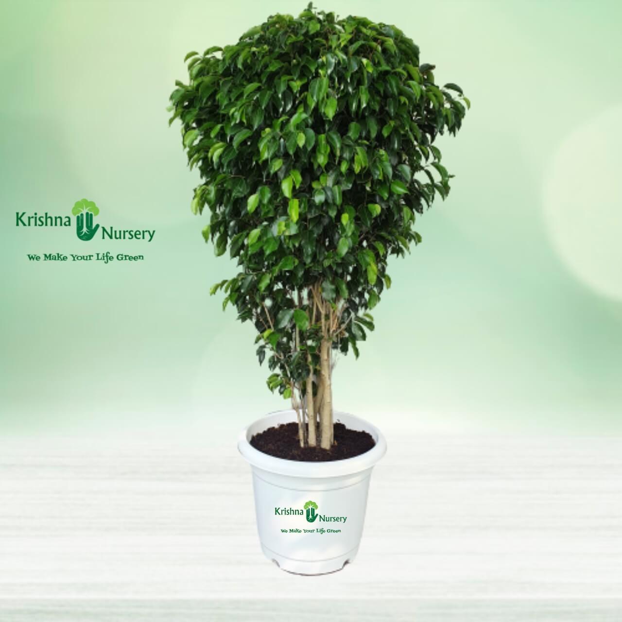 Black Ficus Plant - 18 Inch - White Pot