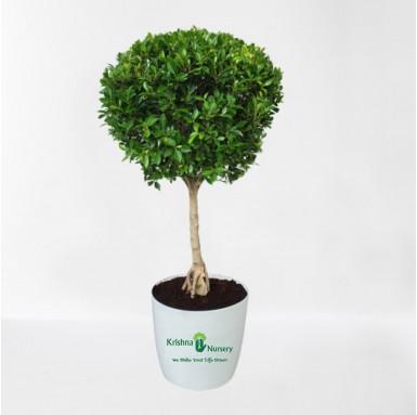 Micro ficus Boll Plant - 18 Inch - White Pot
