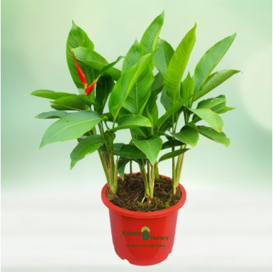 Heliconia Plant - 12 Inch - Red Pot