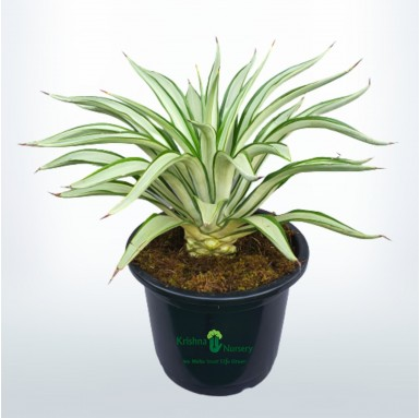 Silver Agave Plant - 12 Inch - Black Pot
