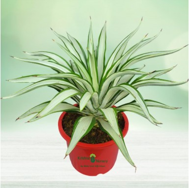 Silver Agave Plant - 12 Inch - Red Pot