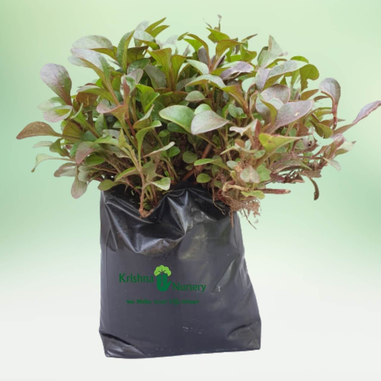 Red Alternanthra Plant - 8 Inch - Poly Bag