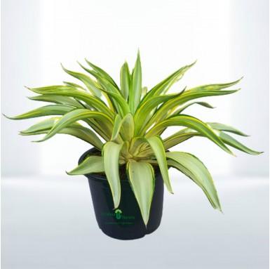 Golden Agave Plant - 10 Inch - Black Pot
