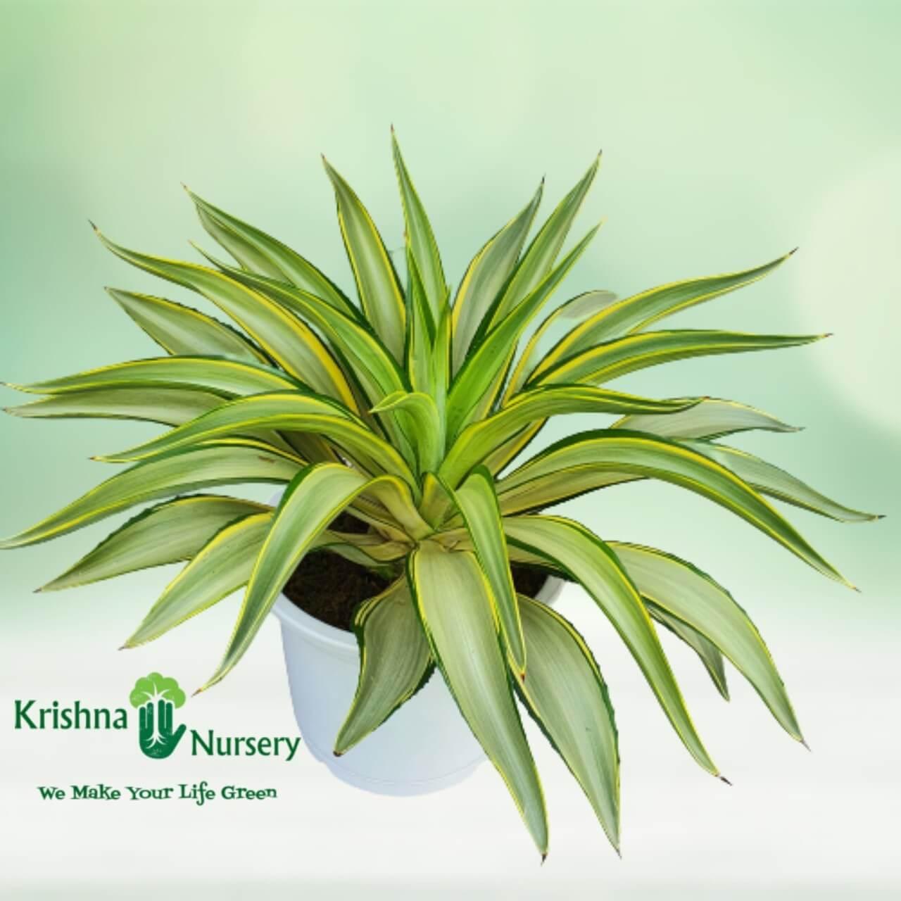 golden-agave-plant