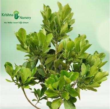 Rosea Clusia Plant - 22 Inch - White Pot